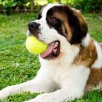 São Bernardo, um cão bom de guarda e de companhia