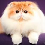Gato persa com sangue de campeão do mundo