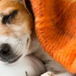 Solução para prevenir declínio cognitivo em animais idosos