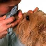 Projeto trata cães com catarata