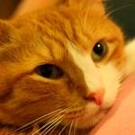 Toxoplasmose: grávidas não precisam se desfazer de seus gatos