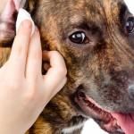 Dicas para limpar o ouvido do seu pet de forma correta