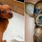 Um longo caminho para adotar filhote de cão sem duas patas