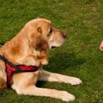 Cães são capazes de identificar comandos falsos e verdadeiros, revela pesquisa