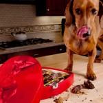 Chocolates, um perigo para os cães