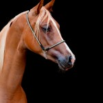 Pesquisa estuda enfermidade que afeta cavalos Quarto de Milha