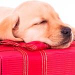 O que levar em conta na hora de presentear com um pet