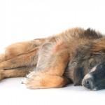 Guia norteia procedimento para eutanásia em animais