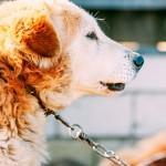 Riscos de manter os animais acorrentados