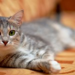 Sinais de que a saúde dos gatos corre perigo