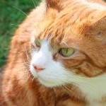 Carinho demais pode deixar gatos estressados