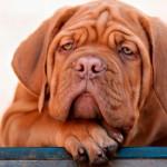 Dicas para entender o estado de humor dos cães