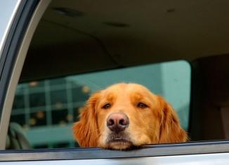 Dicas para um passeio de carro seguro com seu pet