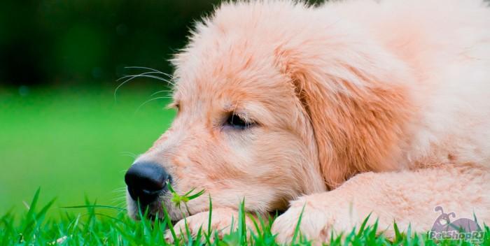 Licença por morte de animal de estimação
