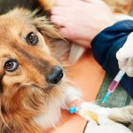 De olho no calendário de vacinação contra a raiva animal