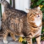 Veja como saber se seu gato está acima do peso